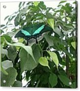 Green Banded Butterfly Acrylic Print