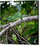 Green Basilisk Lizard Acrylic Print
