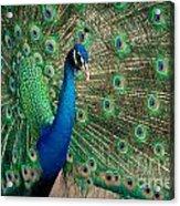 Green Beautiful Peacock Acrylic Print