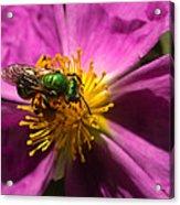 Green Bee Feeding On Rock Rose Acrylic Print