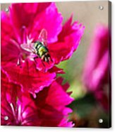 Green Bottle Fly On Dianthus  Acrylic Print