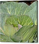 Green Cabbage Acrylic Print