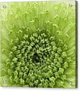 Green Chrysanthemum Acrylic Print by Lesley Rigg