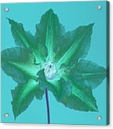 Green Clematis On Turquoise Acrylic Print