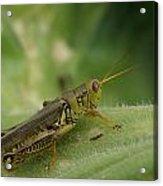 Green Closeup Grasshopper Acrylic Print