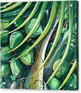 Green Coconuts  2  Acrylic Print