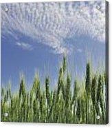 Green Crops Northwest Of Edmonton Acrylic Print