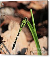 Green Dragonfly On Grass Square Acrylic Print