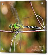 Green Dragonfly On Twig Square Acrylic Print