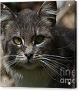 Green Eyed Kitty Cat Acrylic Print