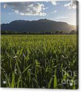 Green Field In Sunset Acrylic Print