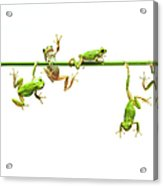 Green Flogs  Each Other Freely On Stem Acrylic Print