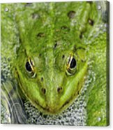 Green Frog Acrylic Print by Matthias Hauser