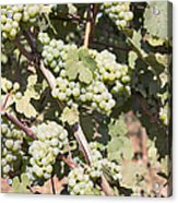Green Grapes Growing On Grapevines Acrylic Print