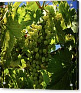Green Grapes On The Vine Acrylic Print