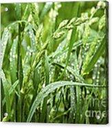 Green Grass After Rain Acrylic Print