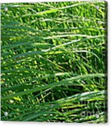 Green Grass Growing Acrylic Print