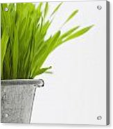 Green Grass In A Pot Acrylic Print