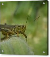 Green Grasshopper You Looking At Me Acrylic Print