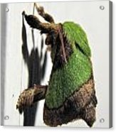 Green Hair Moth Acrylic Print