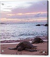 Green Hawaiian Sea Turtles At Sunset - Oahu Hawaii Acrylic Print by Brian Harig