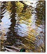 Green Head Mallard Duck Acrylic Print