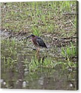 Green Heron Along Shore Acrylic Print