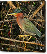 Green Heron Basking In Sunlight Acrylic Print