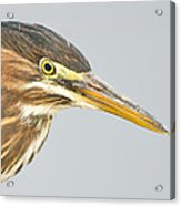 Green Heron Close-up Acrylic Print