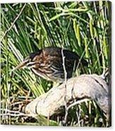 Green Heron - Juvenile Acrylic Print