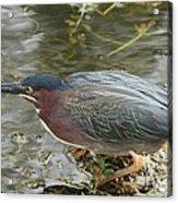 Green Heron On The Lookout Acrylic Print