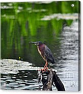 Green Heron Perch Acrylic Print