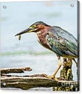 Green Heron Perfection Acrylic Print