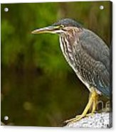 Green Heron Pictures 378 Acrylic Print