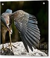 Green Heron Pictures 382 Acrylic Print