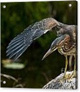 Green Heron Pictures 386 Acrylic Print