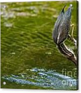 Green Heron Pictures 414 Acrylic Print