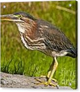 Green Heron Pictures 449 Acrylic Print