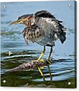 Green Heron Pictures 469 Acrylic Print