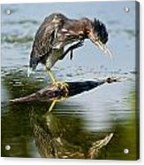 Green Heron Pictures 488 Acrylic Print