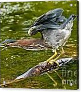 Green Heron Pictures 522 Acrylic Print