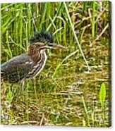 Green Heron Pictures 545 Acrylic Print