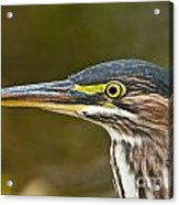 Green Heron Pictures 548 Acrylic Print