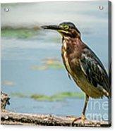 Green Heron Tongue Acrylic Print