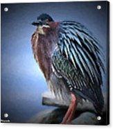 Green Heron Vignetted  Acrylic Print