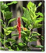 Green Hummingbird On Red Hibiscus Flower 2 Of 10 Acrylic Print