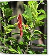 Green Hummingbird On Red Hibiscus Flower 5 Of 10 Acrylic Print
