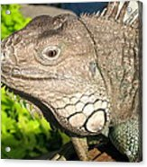 Green Iguana Face Acrylic Print