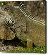 Green Iguana Guayaquil Ecuador Acrylic Print