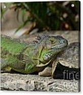 Green Iguana Lizard Acrylic Print